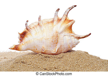 conch in the sand - a conch in the sand on a white...