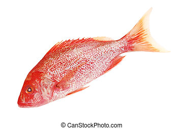 Red Snapper - Raw Red snapper isolated on white background