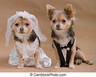 A male and a female chihuahua dressed as a bride and groom,...