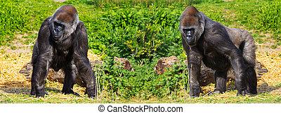 Two western lowland female gorillas (Gorilla gorilla...