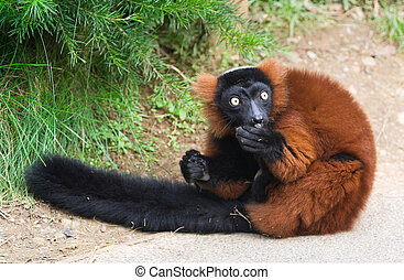 Close up of the rare red ruffed lemur Varecia rubra - A...