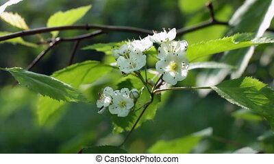 Hawthorn bushes in bloom, closeup and wide shots.