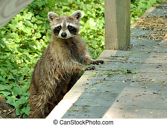 Raccoon - A young raccoon on the side of a wooden bridge.