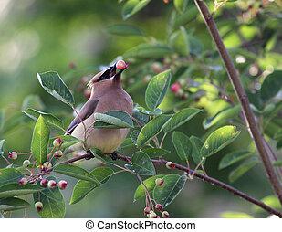 Eating Cedar Waxwing - A Cedar Waxwing Bombycilla cedrorum,...