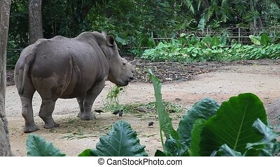Rhino feeding, HD
