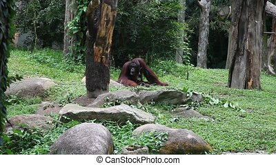 Orangutan feeding, HD - Orangutan feeding in Singapore zoo