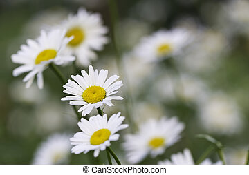 ox-eye-daisy - white daisy flowers in the shade of trees