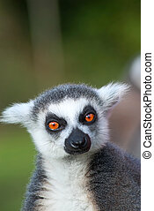 Ring-tailed lemur - Portrait of a ring-tailed lemur Lemur...