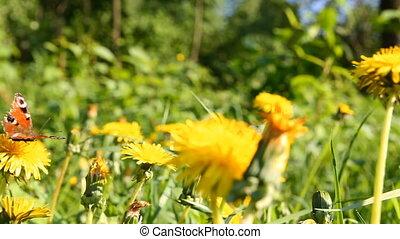 dandelions in meadow, butterfly