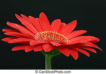 Single red gerbera daisy
