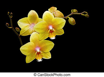 Flowers yellow orchids on a black background close up