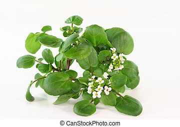 Watercress - a bunch of watercress on white background