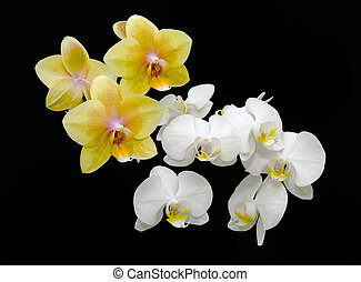 bouquet of yellow and white orchids on a black background
