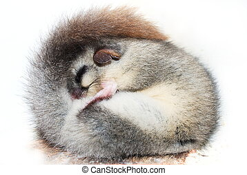 Sleeping rolled up dormouse - Cute little dormouse sleeping...