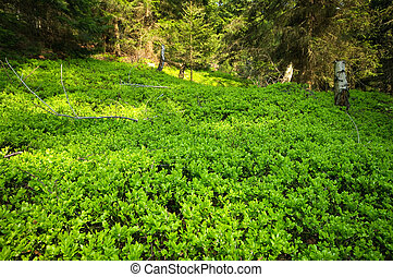 Forest with green bilberry undergrowth