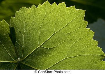 grape leaf - closeup detail of large grape leaf backlit by...