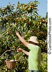 Fuit picker - Agricultural worker during the loquat harvest...