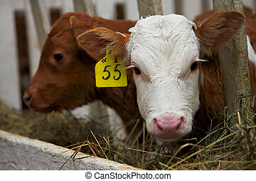 bull calf - two little bull calfs in the cowshed