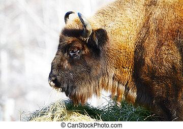 wild bison - Big wild bison in the winter forest