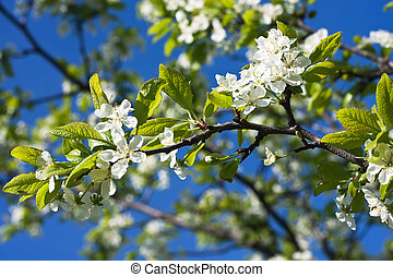 plum blossom - Spring time - plum blossoms against blue sky