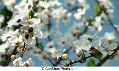 bee pollinating flowers of cherry tree