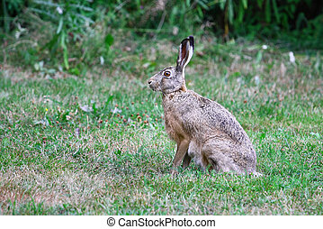 Sitting Hare - Brown Hare sits quietly in the grass