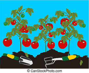 Tomatoes growing on the plant, awaiting to be picked, after...