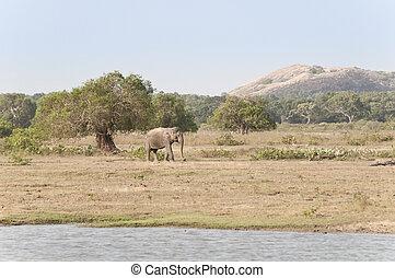 Large Male Elephant; Sri Lanka - Large WIld Male Elephant in...
