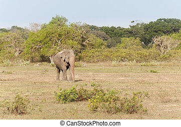 Large Male Elephant; Sri Lanka - Large WIld Male Elephant in...