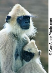 tufted gray langur with cub sitting at ruins of Sri Lanka