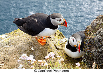 Puffins on the rock - Latrabjarg, Iceland - Colorful puffins...