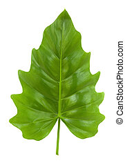 Tropical Leaf of the Philodendron isolated with clipping...