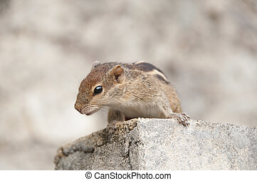 Curious chipmink - a curious chipmunk on stone steps....