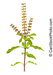 Holy Basil or Tulsi isolated with clipping path - Holy Basil...
