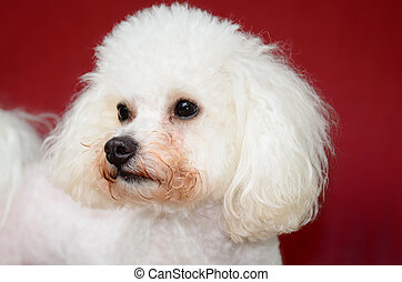 Bichon Frise in front of a door threshold background.