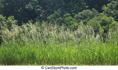 Grass on background forest, HD