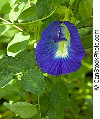 Ayurveda Medicinal Flower Clitoria Ternatea Textured...