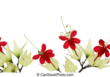 Bleeding Heart Vine Border Isolated with Clipping Path