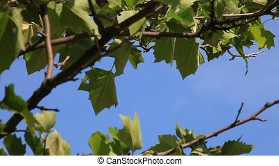green leaves against blue sky, HD