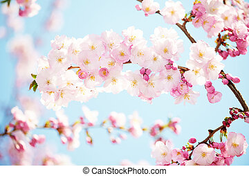 apricot tree flowers blossom - fresh pink apricot tree...