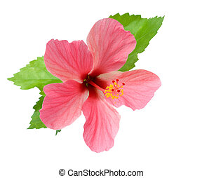 Pink Hibiscus with foliage isolated with clipping path