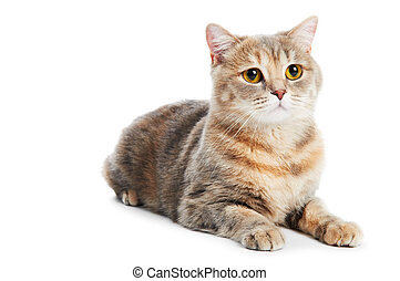 British Shorthair cat isolated