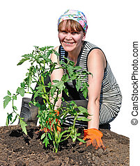 A peasant girl plants tomato - A young peasant girl plants...