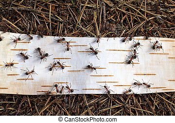 Ants on road from birch bark close up