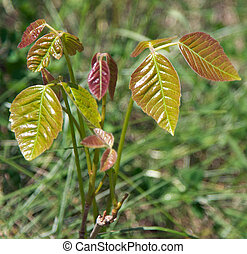 Poison Ivy Plant - Toxicodendron radicans also known as...