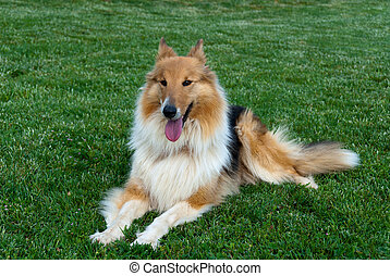 Collie lying on the grass with tongue out