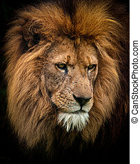 Portrait of a King - Closeup of a Male african Lion