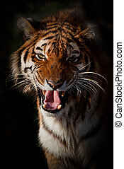 Smile - Amur Tigress