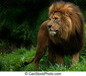 Majesty - Male African Lion