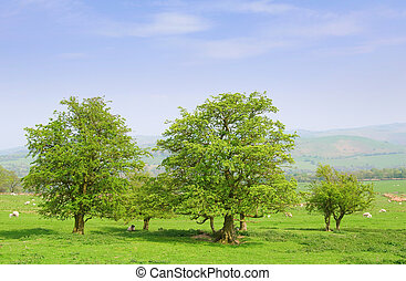 countryside with sheep - hawthorne trees in english...
